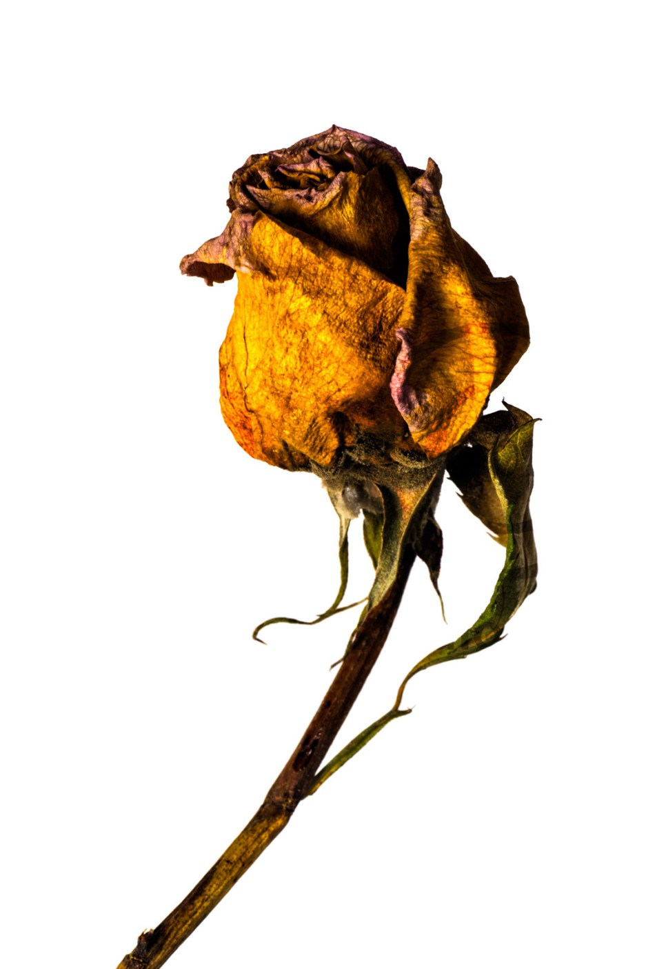 20150906_1743-yellow-rose