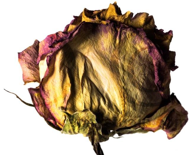20150906_1770--purple-yellow-rose