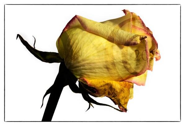 20150918_1881-yellow-rose