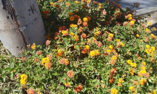 Orange lantana flowers growing next to the base of a palm tree.