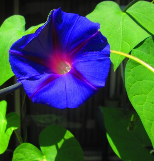 I fall in love with morning glories each time a new bloom opens.