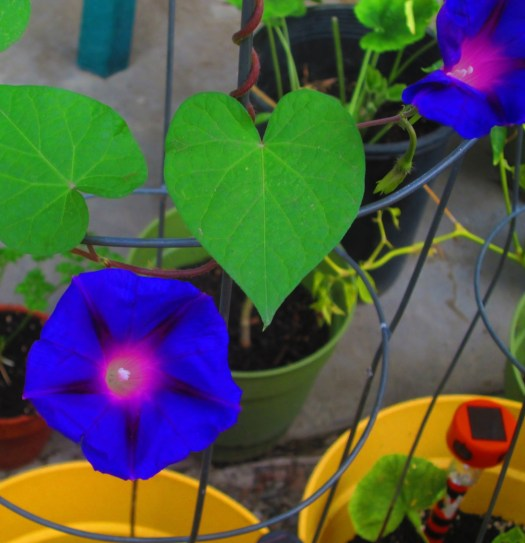 Verdant Morning Glory Leaves Next To Morning Glory Flowers