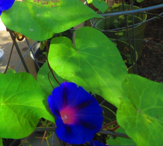 A closeup of the morning glories.