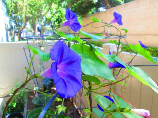 The morning glories look like purple trumpets announcing the new day.