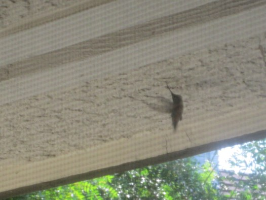 The hummingbird touched his bill to the ceiling.