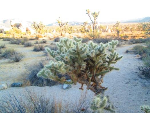 A cholla cactus.