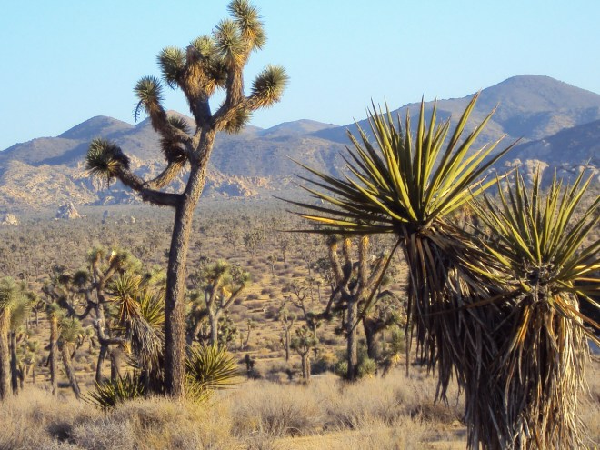 A baby Joshua tree in the foreground, with an elder Joshua tree just beyond.