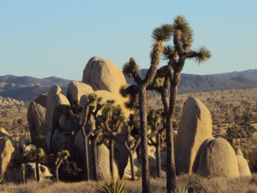 Joshua trees near the upright boulders.
