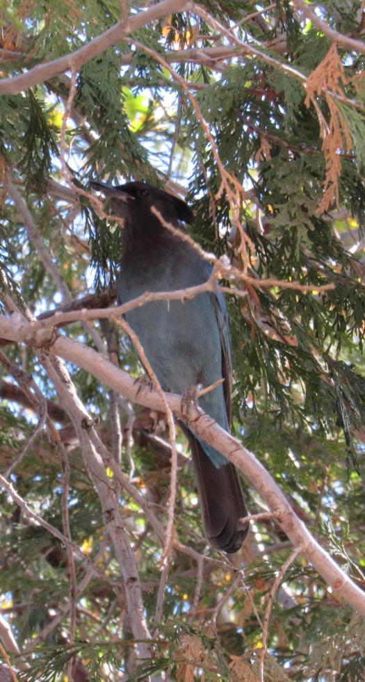 The Steller's jay is also known as a pine jay since it lives in mountainous regions.