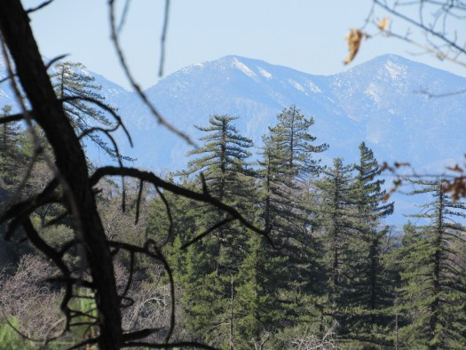 The view of Mount Baldy through the pine trees in the San Bernardino Mountains