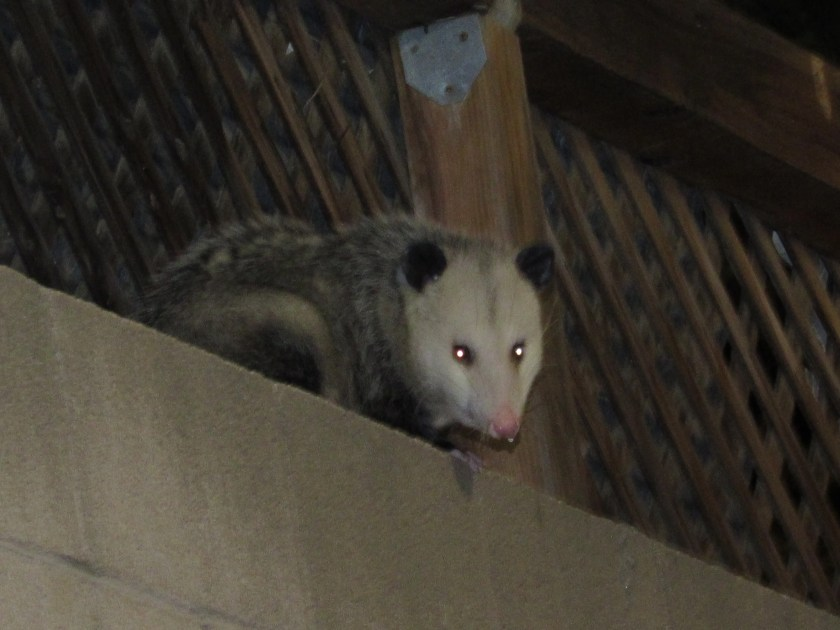 Sometimes cats sit on the brick wall, but Thursday night I an opossum was looking down at me.