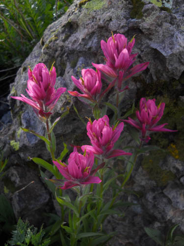 Chasing magical light on Rosy Paintbrush. ©Kit Frost
