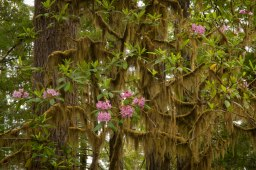 A mix of moss covered redwood trees, and wild pink rhododendron bloom in the coastal redwood forest of California
