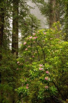 Coastal Fog, Blooming Rhododendrons and Giant Redwoods, Redwood National Park, California