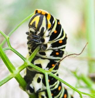 Papilio.03-9853