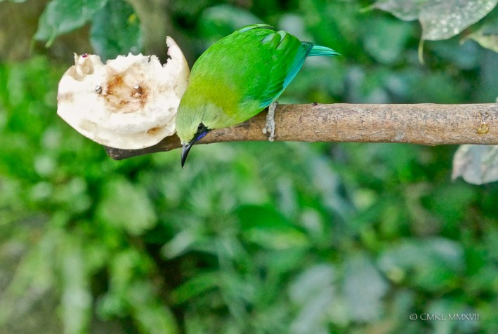 A male Blue-winged Leafbird, Chloropsis cochinchinensis, Chloropseidae.