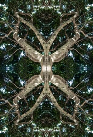 Tree creature. Photo of a street tree canopy, Telegraph Hill, San Francisco, California.