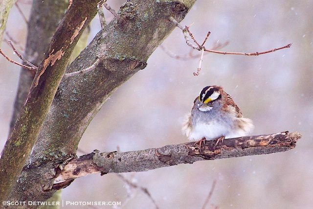 Blustery White Throated Sparrow