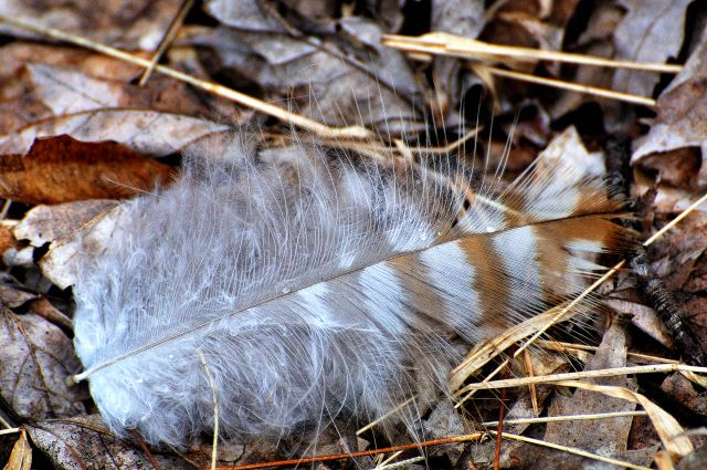 Red Shouldered Hawk Feather on the ground