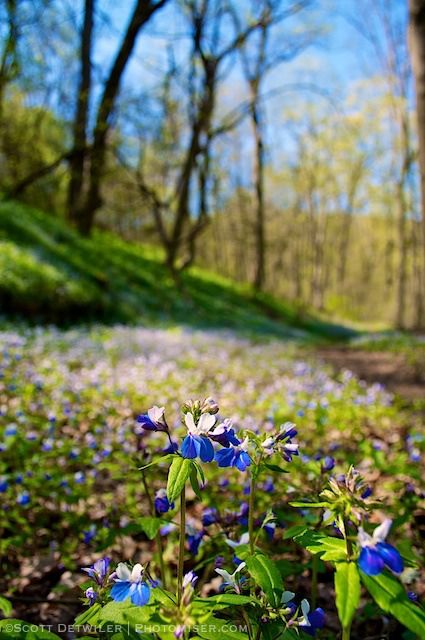 Blue-eyed Mary