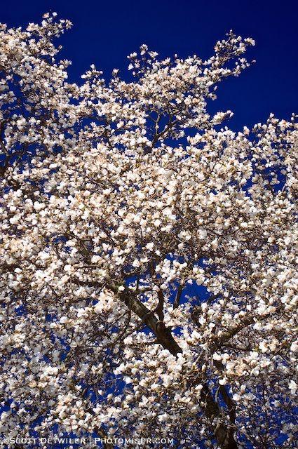 Peak Magnolia