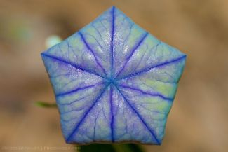 Balloon Flower Bud
