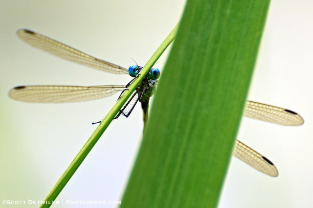 Spreadwing Damsel