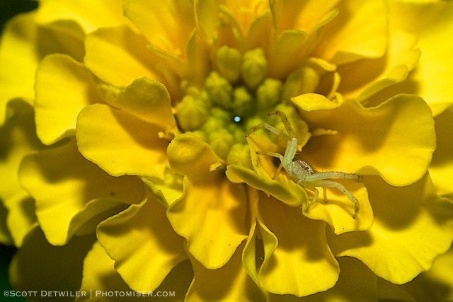 Marigold at Night with Spider