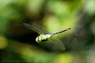 Green Darner dragonfly in migration
