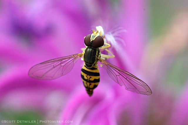 Hoverfly on monarda
