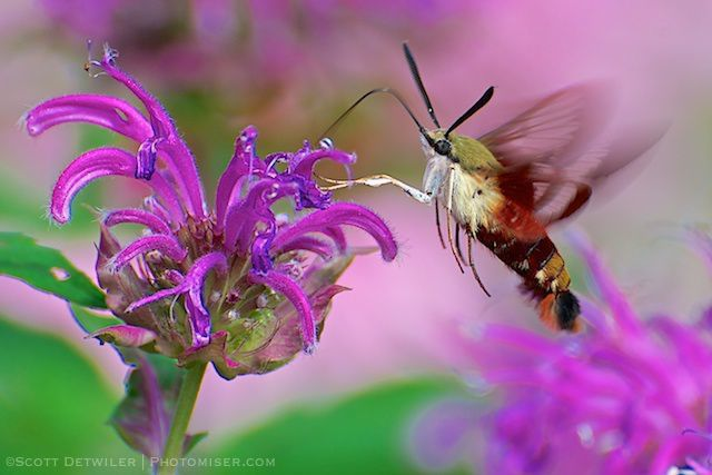 Hummingbird Moth (Sphinx Moth) on monarda