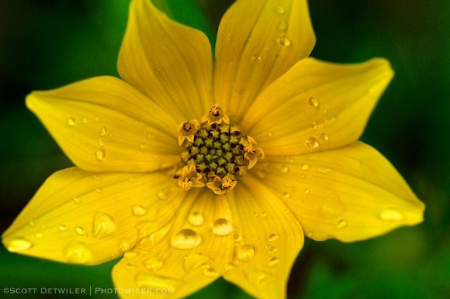Tickseed Sunflower with raindrops