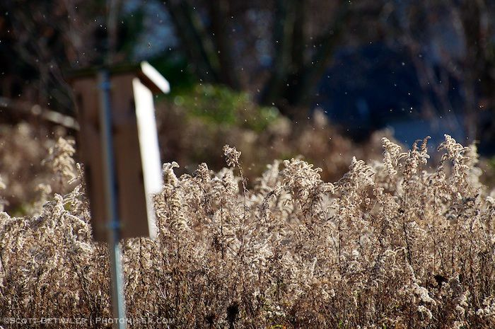 Goldenrod seeds in the air on a breezy November afternoon