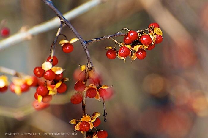 Asian Bittersweet red berries