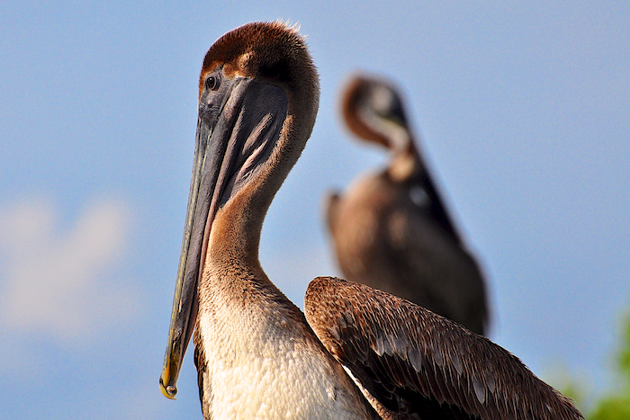 Brown Pelican and his shadow