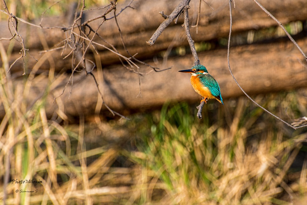 Kingfisher - This fellow posed for quite a while