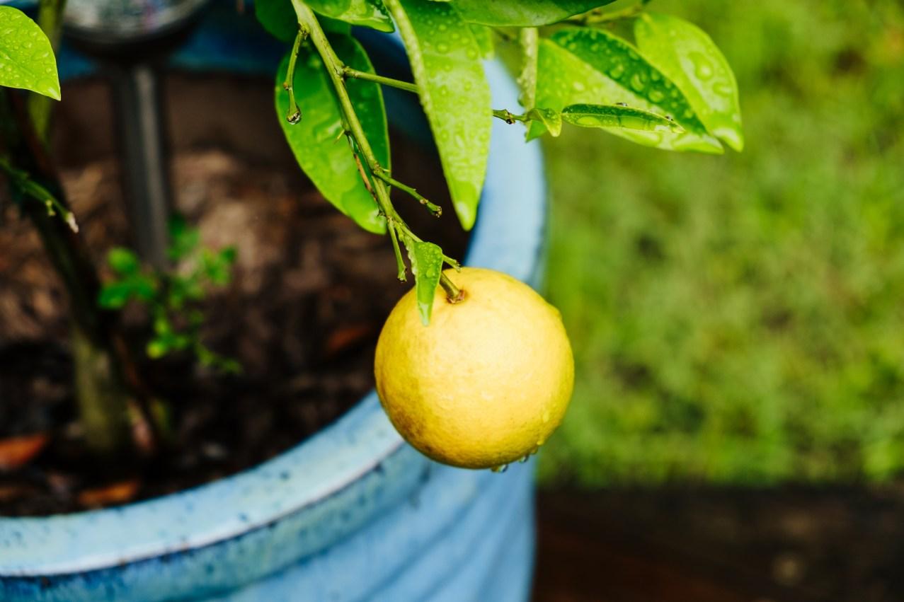 After the rain - lemon