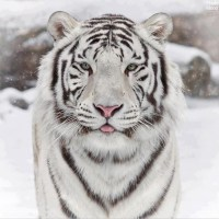 Hello I am a white tiger