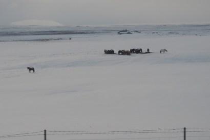 Les chevaux islandais en liberté