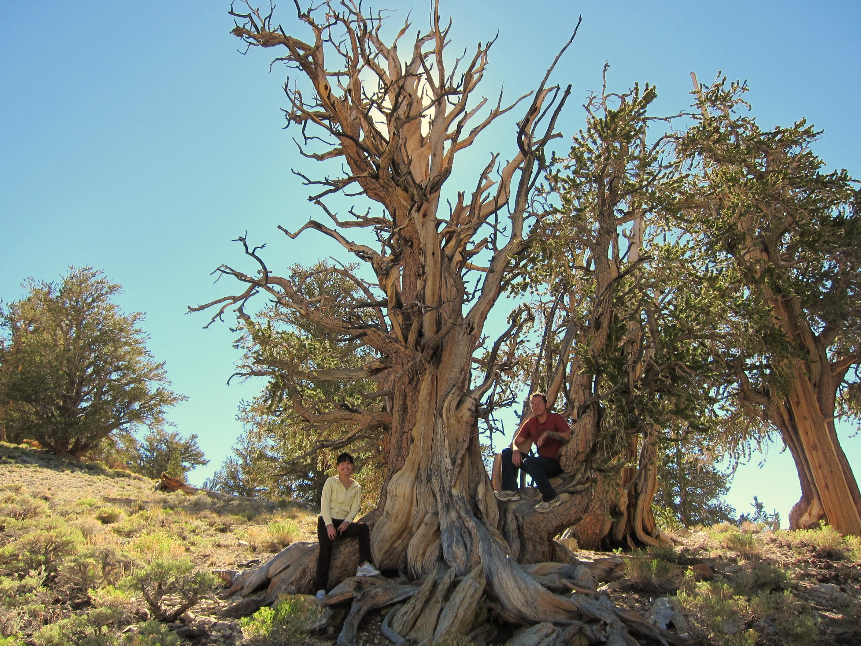 Yosemite Carma Bristlecone Pine And Friends Photon Flavors