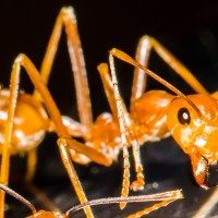 """Ang Hantik"" (Philippine Fire Ants - 6 photos)"