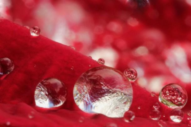 Bill Lord, Rain Drops on Poinsettia, Digital Color Photograph, 2013