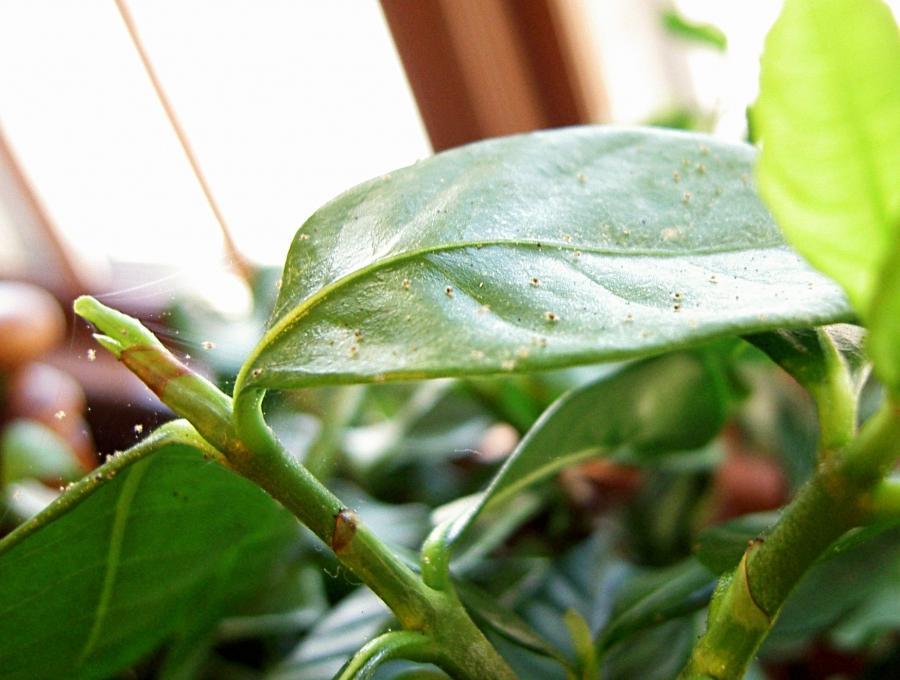 Jade Plant Disease Identification