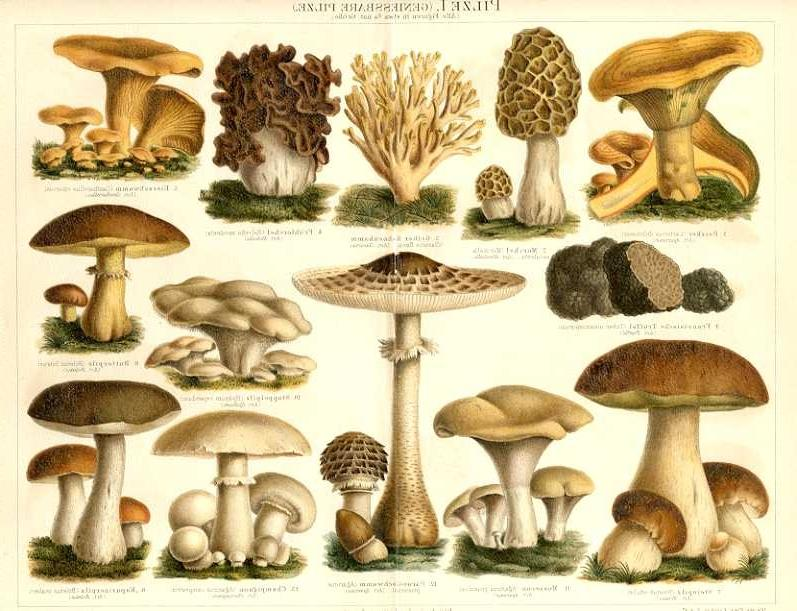 Wild Mushrooms Wisconsin Edible
