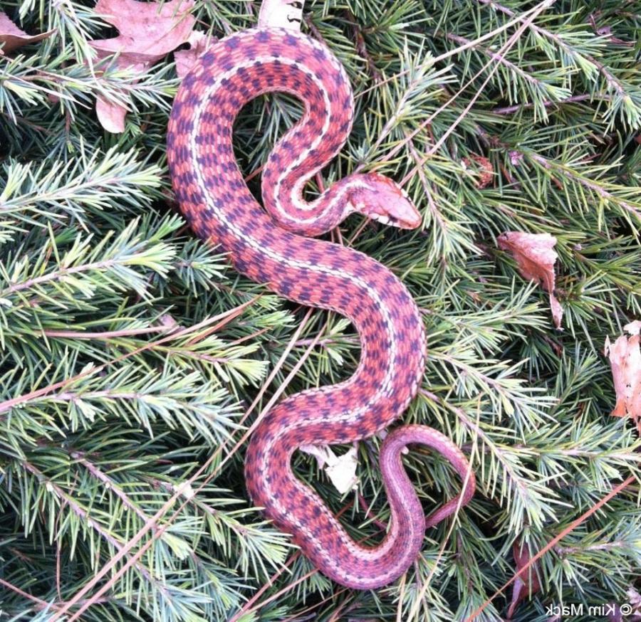 New Snakes Non Poisonous York