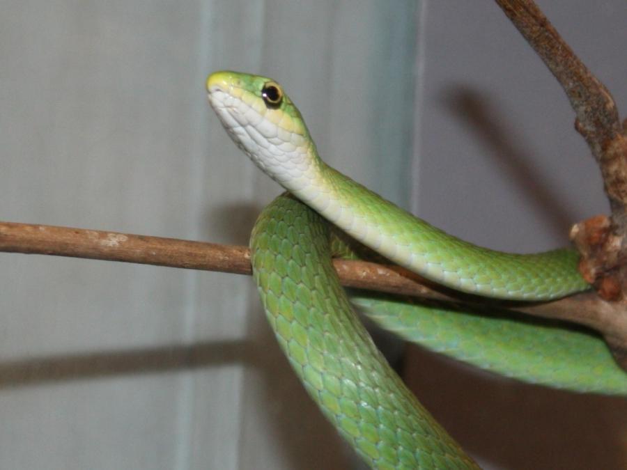 Poisonous York Snakes Non New
