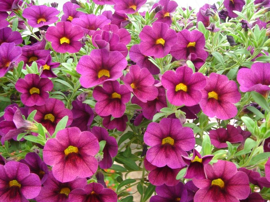 Common Annual Flowers Photos