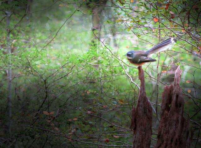 Fantails ofter frequent the Dunedin Botanic Gardens