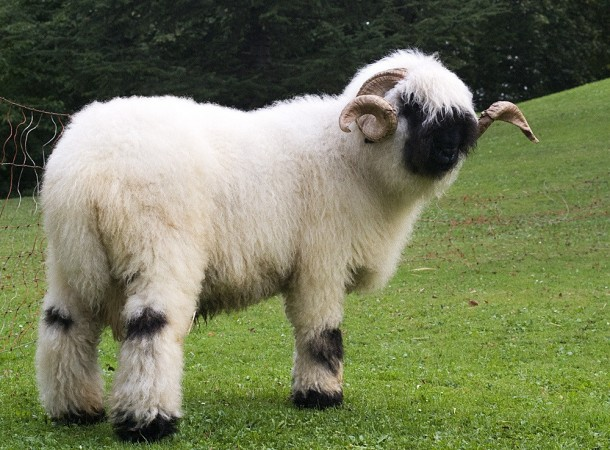 More Valais Blacknose Sheep