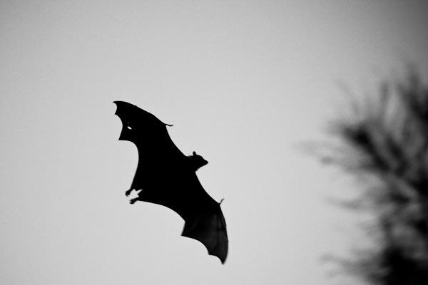 This bat is huge!